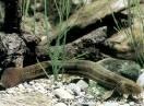 ribe / Fam. Cobitidae - Misgurnus fossilis