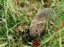 sisari / Fam. Micrtidae - Microtus agrestis