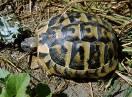 gmizavci / Fam. Testudinidae - Testudo hermanni