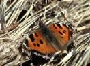 insekti / Fam. Lepidoptera - Nymphalis xanthomelas