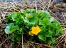 Kaljužnica / Fam. Ranunculaceae - Caltha palustris