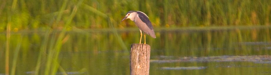 Zasavica - ptica