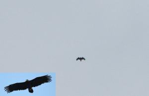 Aquila clanga 4  Zasavica 2015 -DETALJ