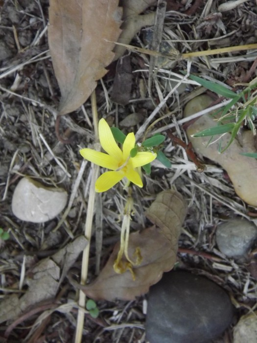 Sternbergia colchiciflora