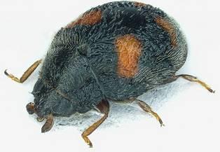 Nephus quadrimaculatus