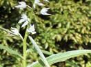 Orhideja / Fam. Orchideaceae - Cephalantera alba