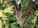 Ornitologija / Asio otus - Utina