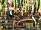 Ornitologija / Fulica atra - Liska