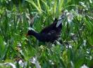 Ornitologija / Gallinula chloropus - Barska kokica