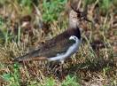 Ornitologija / Vanellus vanellus - Vivak